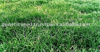SUNGRAZER PLUS Bermuda Grass Seed