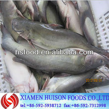 Frozen Whole Round Channel Catfish