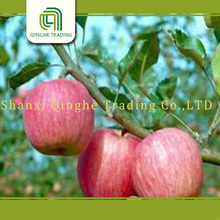 fresh apples for sell/apple cider vinegar for sale/china red qinguan/fuji apple