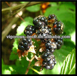 100% Natural Bilberry Extract/Bilberry Extract powder/fresh bilberry