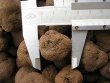 Truffles Product Type fresh and frozen black truffles for sale