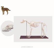 Nature Size Dog Skeleton Medical Model