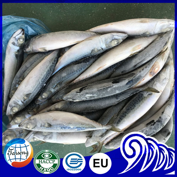 Scientific Name Of Mackerel Fish Pacific Scomber Japonicus On Sale