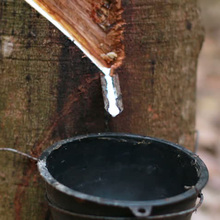 Latex colletion cup for rubber tree