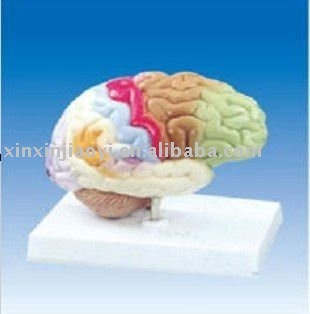 Brain function model(COLORED )