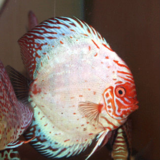 WHITE DRAGON DISCUS FISH (indofishexporter.com)