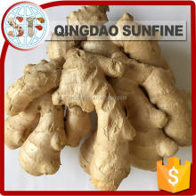 Chinese mature fresh ginger plantation