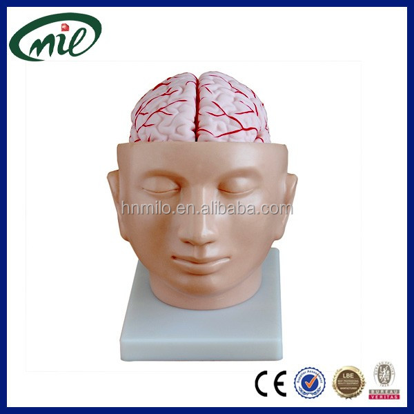 Teaching anatomical model brain with arteries on head / Medical brain model