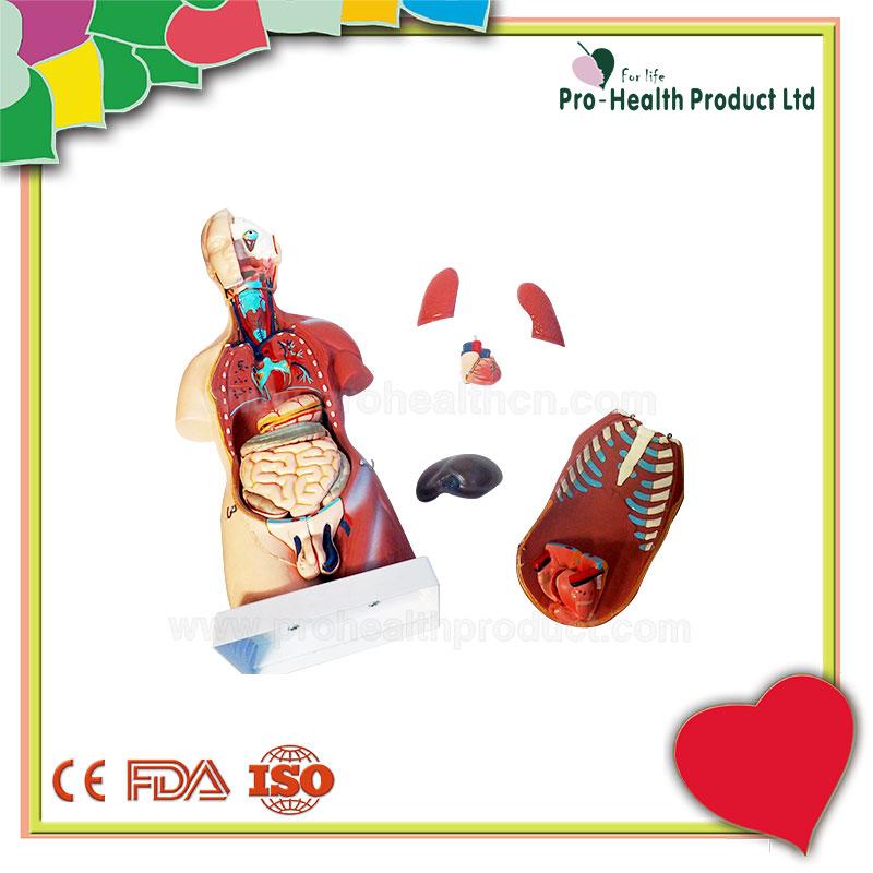 45 cm 23 Teile Lebendige Organe Verdauungssystem Menschlichen Torso ...