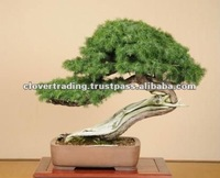 Japanese Bonsai Tree for Garden Ornament