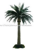 Canary Palm Tree