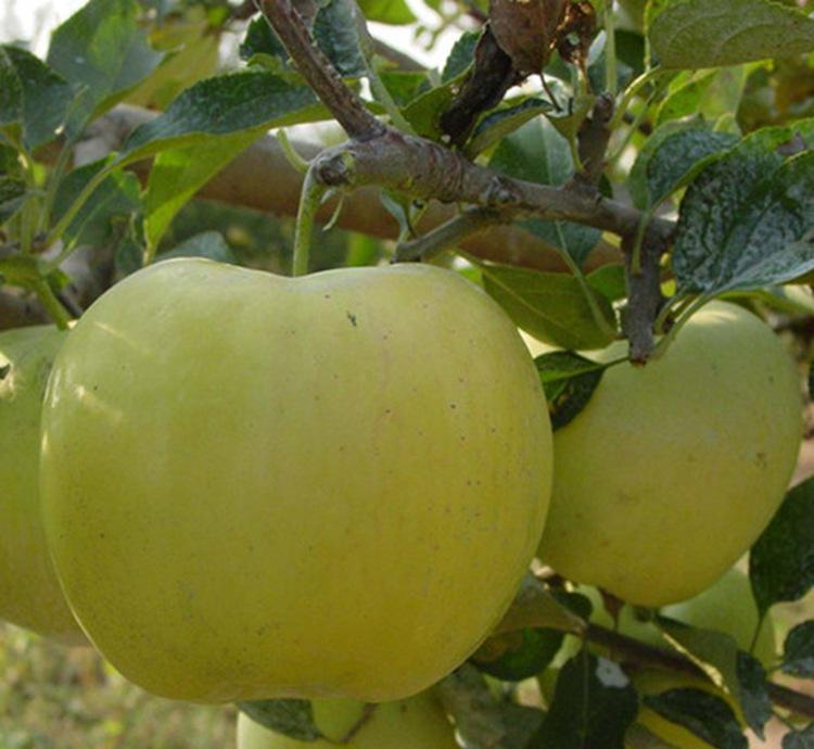 Chinese fresh green apple for sale