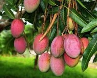 Mango for export
