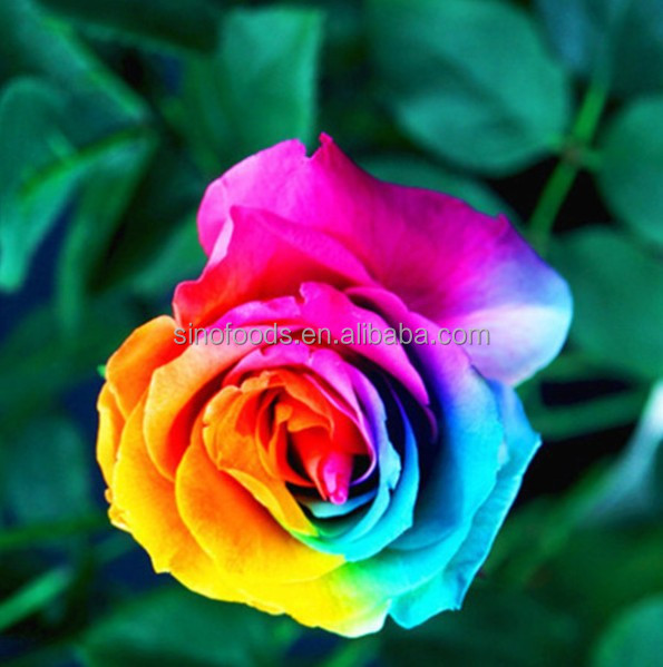 rose flower seeds flowers hybrid seeds