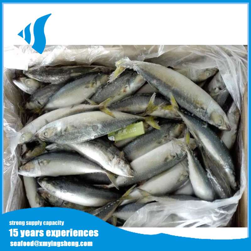 Scientific name of mackerel fish frozen mackerel fish for sale
