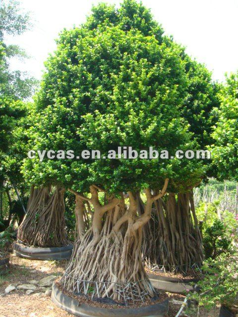 ficus treesficus bonsai buy ficus treeficus bonsaificus microcarpa bonsai trees product on alibabacom - Ficus Trees