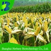 2018 Excellent Quality Hybrid F1 Sweet Corn Seed For Sale