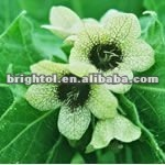 High Quality Henbane Extract
