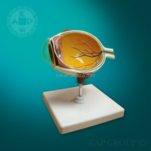 Human eye anatomy model/plastic eye structure study model/medical eye model