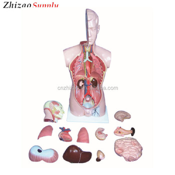 The model of human torso with head and cervix