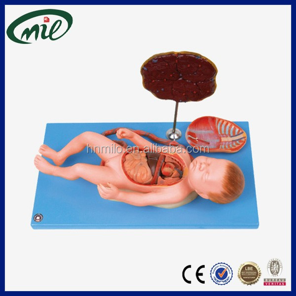 Human anatomical models / Infant model / Fetus with viscus and placenta