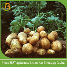 egyptian organic potato fresh holland ecport potato