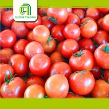 farm specification fresh tomato fresh tomatoes for sale
