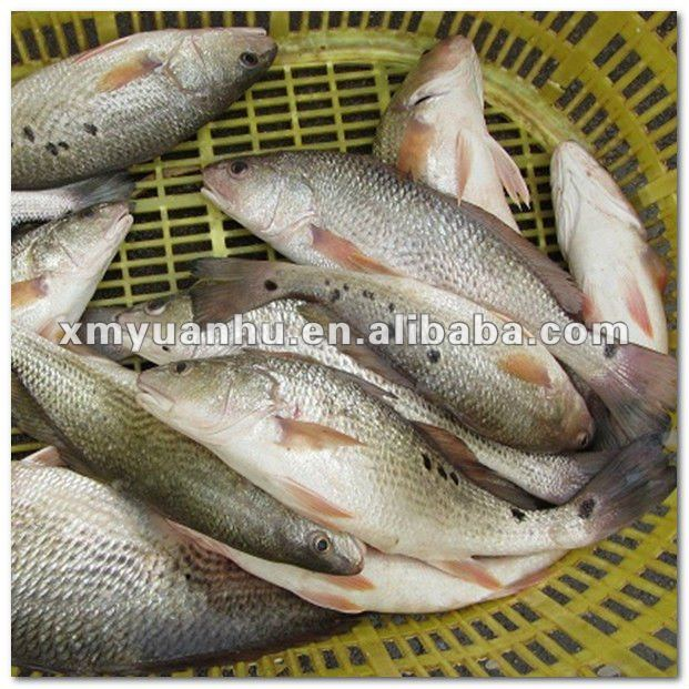 Frozen red drums fish whole round on sale
