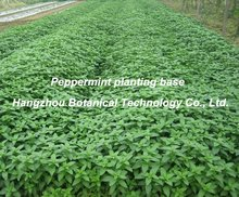 NEW- Peppermint Herb new crop available