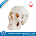 Anatomy Skull Model For wholesale School Supplies