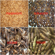 High Protein Feeding Insect (mealworm mainly)
