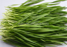 Wheat grass Powder Health food and food additive Powerful antioxidant
