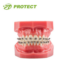Protect Wholesale Dental Orthodontic Teeth Study Model For Sale