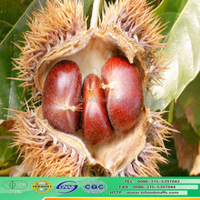 the china best chestnuts QIANXI fresh wholesale chestnuts for sale
