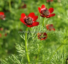 Summer Adonis , Adonis,flower seeds