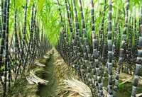 suger cane , tertiary stage