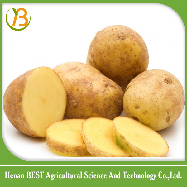 2016 new russet potato price /fresh potato importers