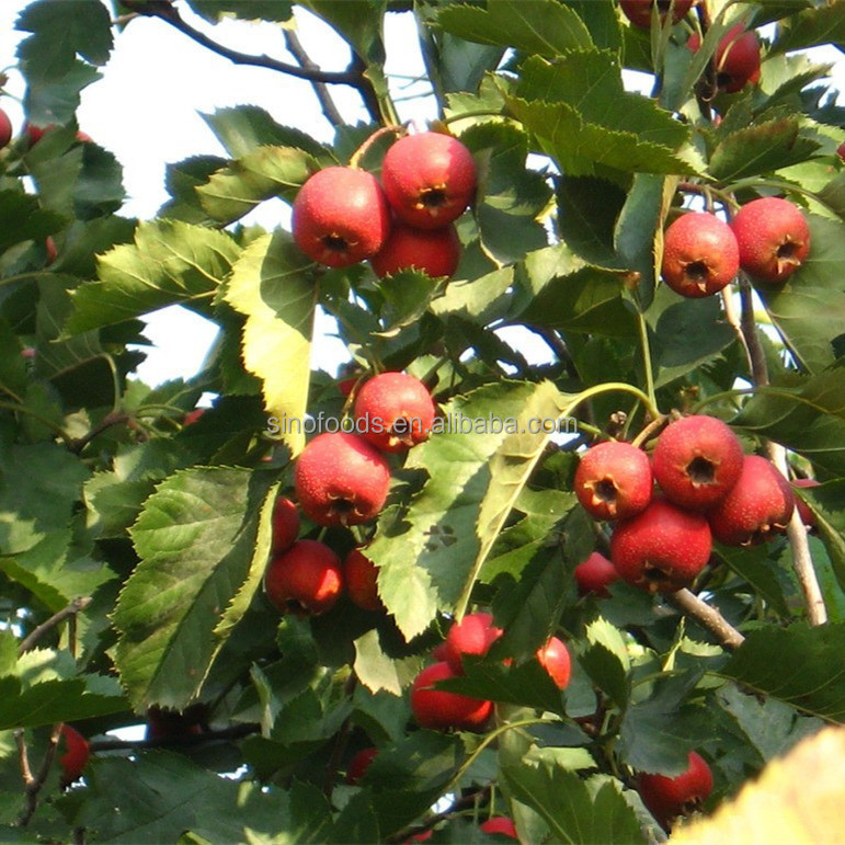 hawthorn extract powder hawthorn berry extract