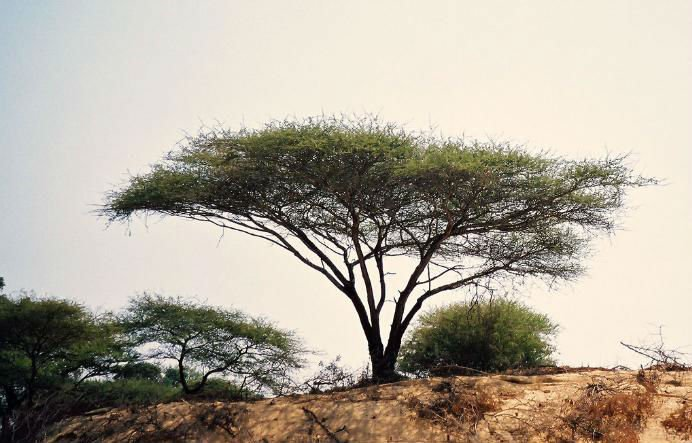 Wild trees and shrubs from Saudi Arabia