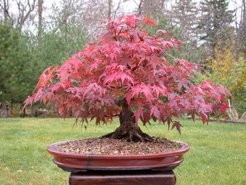 Bonsai Red Japanese Maple
