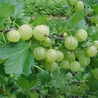 Fine Quality Indian Gooseberry Extract