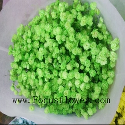 Beautiful fair for funerals multi color babysbreath fresh collected flowers gypsophila Valentine's Day gift from YUNNAN
