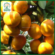 Top quality mandarin orange fresh with good price