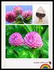 red clover extract,red clover extract powder,red clover extract / isoflavones