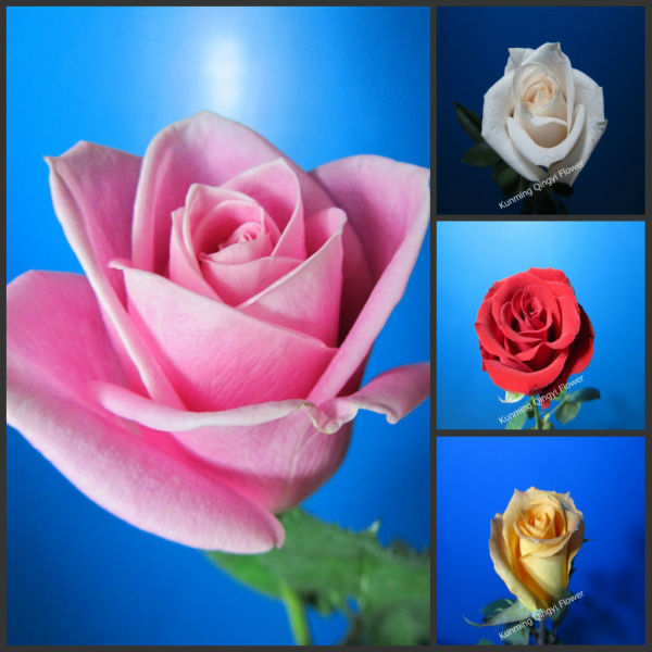 Export cut flowers and plants direct supply roses from Kunming Qingyi with cheap price