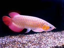 Super red Arowana fishes for sale