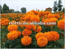 High quality organic Marigold P.E. (extract) with Lutein and Zeaxanthin