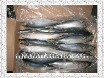 new season trawlers pacific mackerel for sale300-500g from ningbo