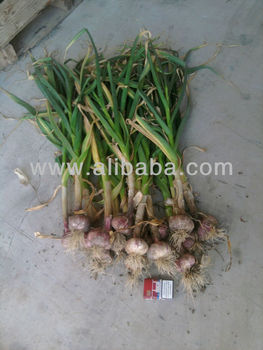 Fresh garlic with leaves / Ajos fresco con rama
