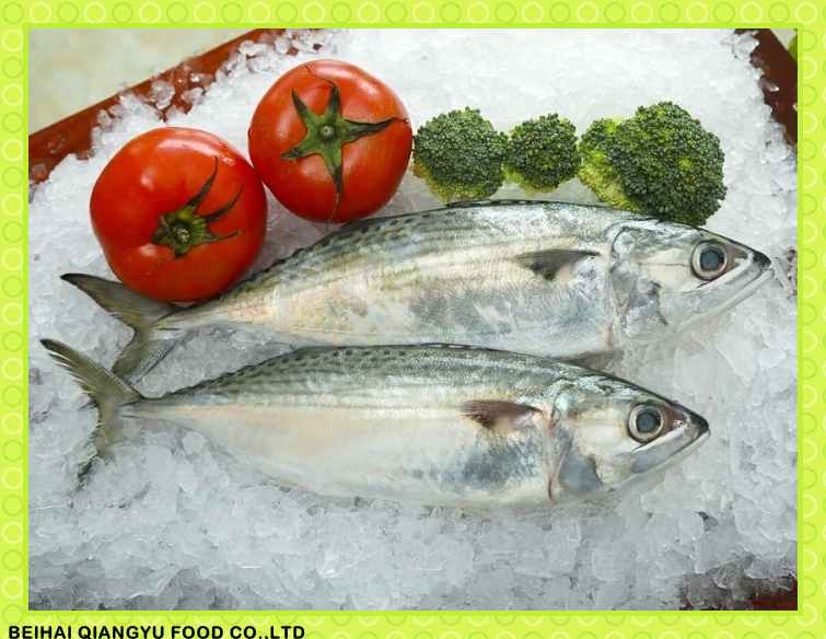Premium Fresh Frozen Indian Mackerel Fish